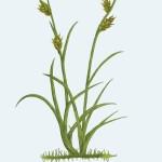 1 Carex hostiana