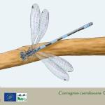 4.2 coenagrion caerulescens macho