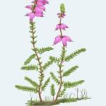 4 Erica ciliaris
