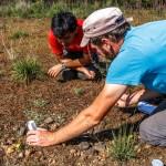 Colaboración de TREMEDAL para la conservación de Eryngium viviparum (1)