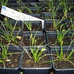 Plantas de Carex echinata en el vivero de GAN