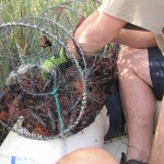 Retirada de cangrejos aloctonos en Caicedo-Yuso