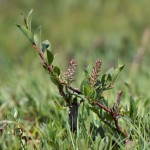 Salix hastatellata. Liordes